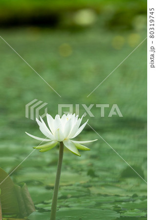 緑の睡蓮の葉に覆われた池の一輪の白い睡蓮 80319745