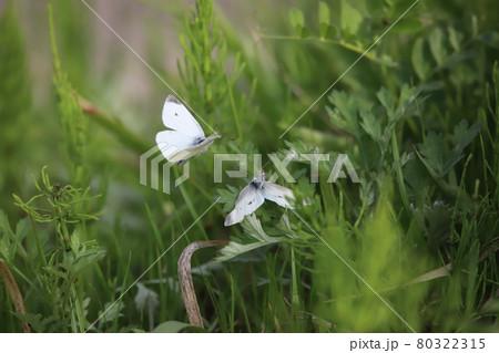 交尾拒否姿勢のモンシロチョウの雌と交尾をしよう近づく雄 80322315