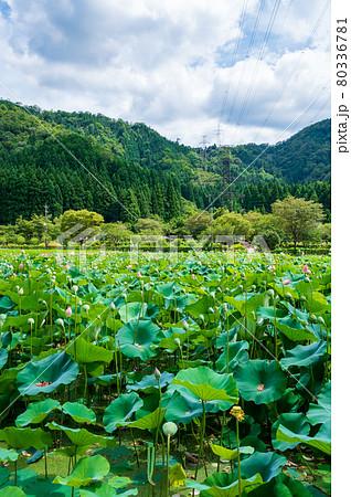花はす公園(福井県 南越前町) 80336781