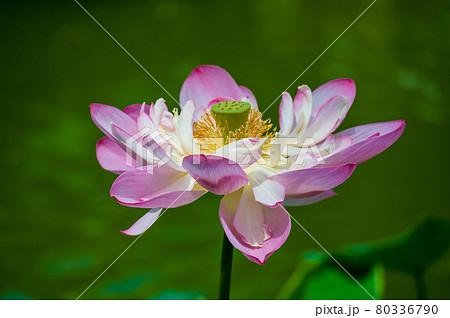 花はす公園(福井県 南越前町) 80336790