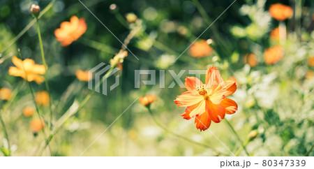 【秋】オレンジ色のコスモスの花 パノラマ 80347339