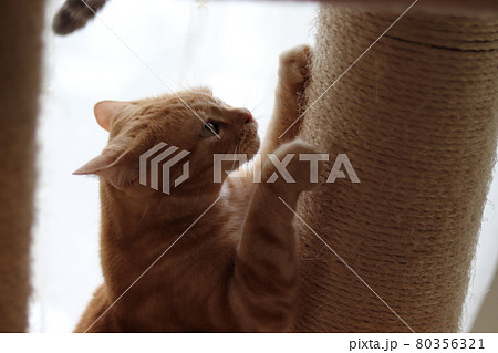 イカ耳で懸命に爪を研ぐ猫アメリカンショートヘアレッドタビー 80356321