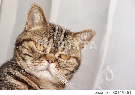 強面顔でガン見する鼻ぺちゃ猫アメリカンショートヘアブラウンタビー 80359261