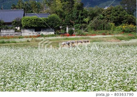 花咲く蕎麦畑と小田がけ 背景に民家 80363790
