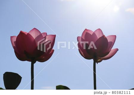 太陽と見上げた2輪のピンクのハスの花 80382111