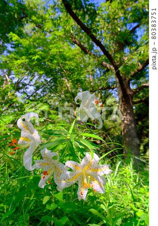 山の茂みの中からひっそりと誇らしく咲くユリの女王ヤマユリ 80383751