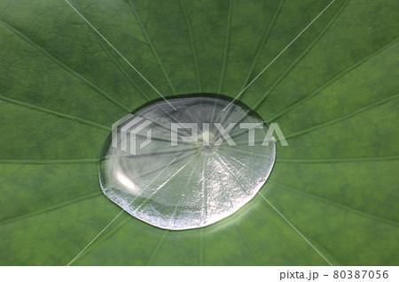 大きな蓮の葉の上にたまる水でできた大きな水滴 80387056