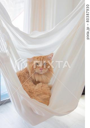 ハンモックチェアーでくつろぐ猫(メインクーン) 80387930