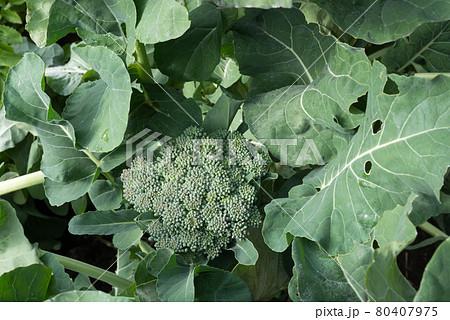 畑のブロッコリーの蕾と葉 80407975