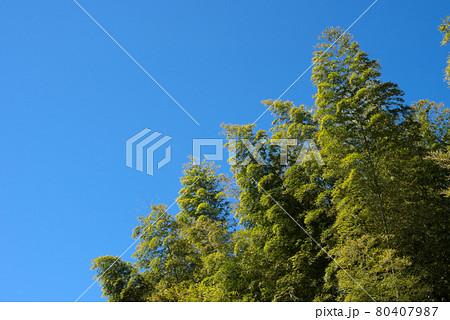 青空の下の竹林 80407987