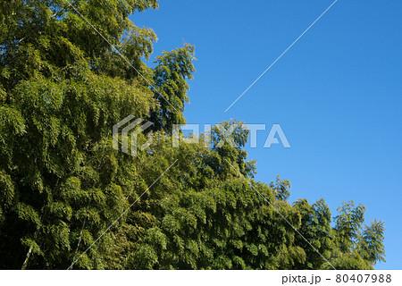 青空の下の竹林 80407988