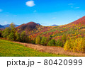 autumnal landscape in carpathian mountains. trees in colorful foliage on a grassy hills rolling in to the distant ridge. beautiful scenery on a warm sunny day with clouds on the sky 80420999