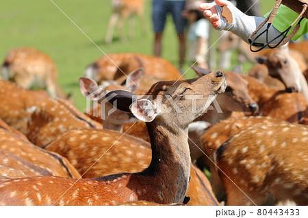残りの鹿せんべいを浴びる鹿/飛火野 80443433