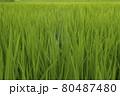 稲の絨毯 80487480