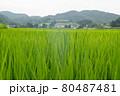 稲の絨毯 80487481