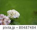 白い紫陽花 80487484