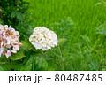 白い紫陽花 80487485