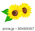 水彩で描いたヒマワリの花 80489367