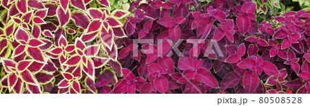 バナーサイズに切り抜いたコリウスの花壇 80508528