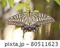 羽を広げ一休みするアゲハチョウ 80511623