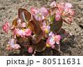 ベゴニア・センパフローレンスの花 80511631
