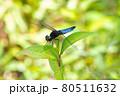 葉の上で休むシオカラトンボ 80511632
