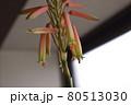自宅のアロエの花が咲きました 80513030