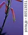 自宅のアロエの花が咲きました 80513031