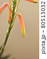 自宅のアロエの花が咲きました 80513032