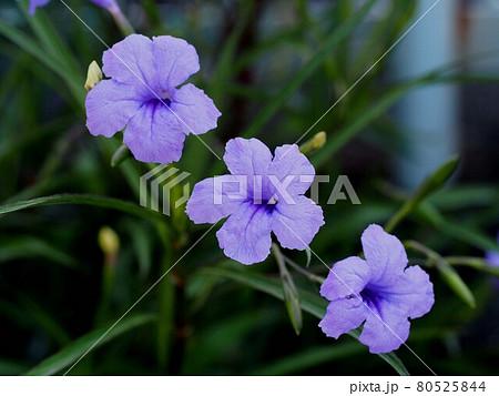 三輪のヤナギバルイラソウの花(青い花) 80525844