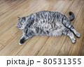 fat British cat is lying on the floor and peeping 80531355