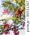 red currant berries ripen on the bush 80531367