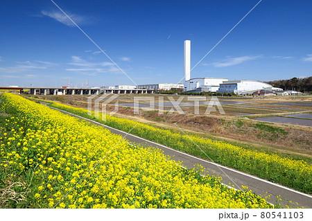 満開の菜の花咲く江戸川サイクリング道路と春の田圃風景 80541103