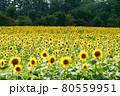 ひまわり 80559951