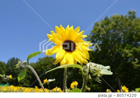 ≪群馬県≫夏の高原に咲くひまわり 80574220