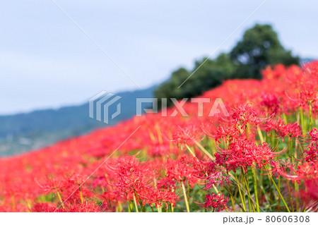 【星谷の彼岸花】土手沿いに咲き乱れる彼岸版 80606308
