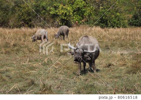 カンボジアの水牛・家畜・農家の風景/カンボジアの風景 80616518