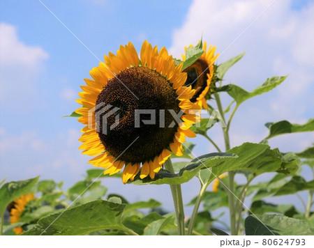 太陽に向かって咲いている2本のひまわり 80624793