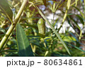 A monarch butterfly pupae hanging under the leaf. 80634861