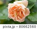 バラ アンティークレースのアップ 80662560