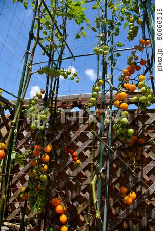 オレンジ色のミニトマトがいっぱい 夏の家庭菜園 80666513