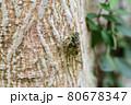 木にとまっているヒグラシ(埼玉県/7月) 80678347