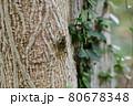 木にとまっているヒグラシ(埼玉県/7月) 80678348