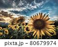 夕暮れ前の向日葵畑 80679974
