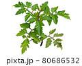 資料画像:トマトの葉 80686532