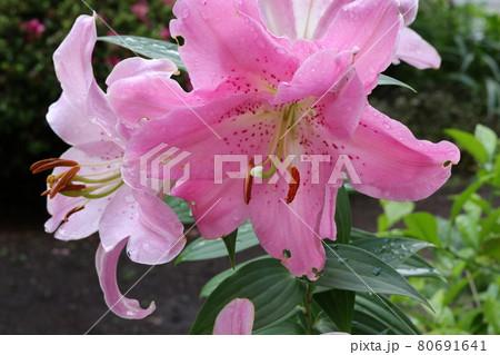クローズアップ撮影したピンクのユリの花 80691641