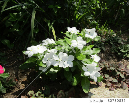 こじま花の会花畑の白色の日日草の花 80730835