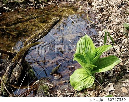 達居森の植物 早春の山野のコバイケイソウ 80747589