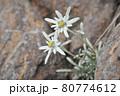谷川岳登山の風景、高山植物 80774612