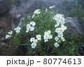谷川岳登山の風景、高山植物 80774613